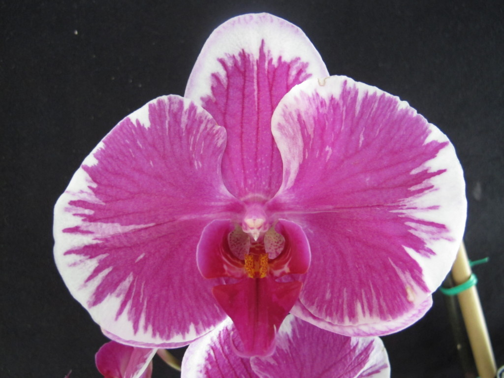 best orchid house plants. Phalaenopsis orchid  phalaenopsis house plant the 32 best plants to bring greenery indoors Great House Plants Bring Greenery Indoors Choice Home Warranty