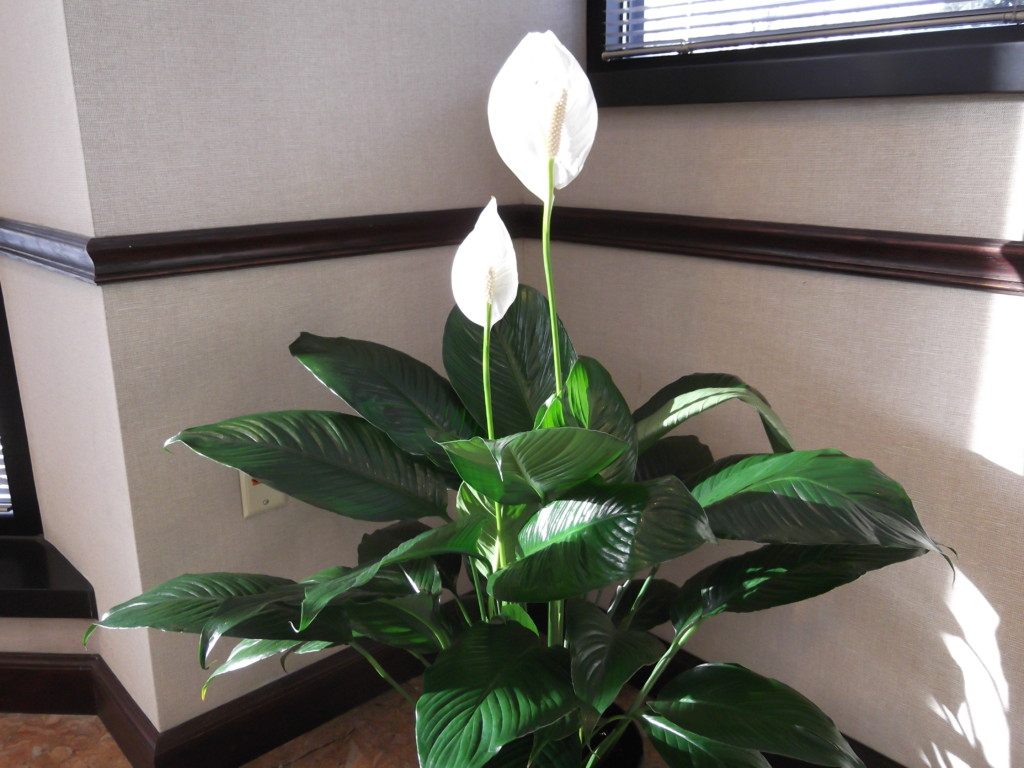 peace lily house plant the 32 best house plants to bring greenery indoors - Tropical House Plants