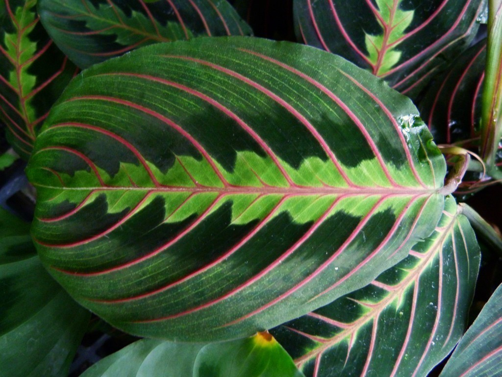 prayer plant house plant the 32 best house plants to bring greenery indoors