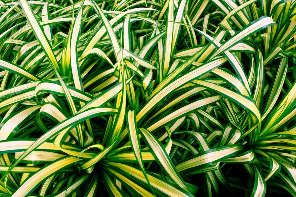 lighting for houseplants. Spider Plant House The 32 Best Plants To Bring Greenery Indoors Lighting For Houseplants W