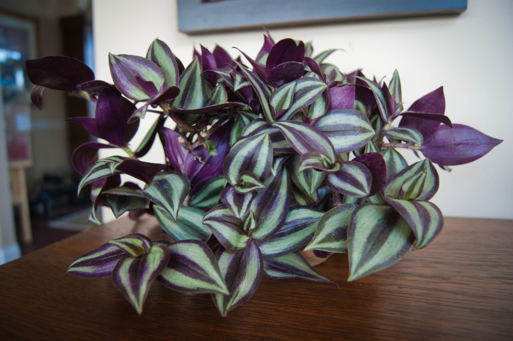 wandering jew house plant the 32 best house plants to bring greenery indoors - Flowering House Plants Purple